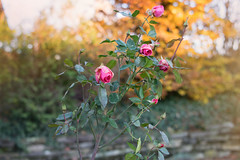 Roses (phagileo) Tags: samyang walimex 35mm f14 autumn outdoor outside natur rose roses pink