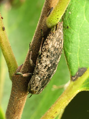 Wood-boring Beetle (treegrow) Tags: florida lifeonearth nature canonpowershotsx40hs raynoxdcr250 arthropoda insect merrittisland beetle coleoptera dicerca taxonomy:genus=dicerca buprestidae