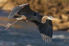 IMG_2374 Great Blue Heron (cmsheehyjr) Tags: cmsheehy colemansheehy nature wildlife bird heron greatblueheron jamesriver richmond virginia floodwall ardeaherodias