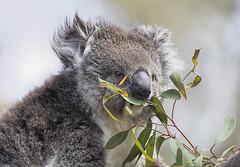 Koala 2016-12-05 (5D_32A1778) (ajhaysom) Tags: koala phascolarctoscinereus werribee werribeezoo melbourne australia canoneos5dmkiii sigma150600