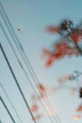 (  / Yorozuna) Tags:   spider  bug insect  spidersweb  shinjukuward  tokyo japan   pentaxautotakumar55mmf18