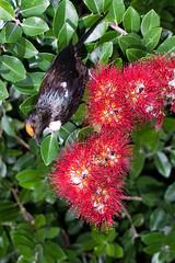 Tui (Prosthemadera novaeseelandiae) and Pohutukawa (Metrosideros excelsa) (Nga Manu Images NZ) Tags: fscientificnames feeding flowering metrosiderosexcelsa plantsandfungi pohutukawa pollination prosthemaderanovaeseelandiae trees