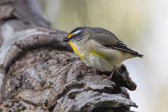 Striated Pardalote 2016-09-04 (60D_3122) (ajhaysom) Tags: striatedpardalote pardalotusstriatus woodlandshistoricpark greenvale melbourne australia australianbirds canoneos60d sigma150600