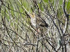 White-throated Sparrow (morroelsie) Tags: whitethroatedsparrow sparrow centralcoast centralcoastbirds morrobay morrobayharbor morrobaymarina morroelsie