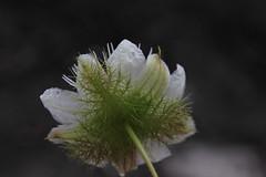 Passiflora foetida Passifloraceae Foetid Passionflower 0916 09 Cape Cleveland (John Elliott Townsville) Tags: capecleveland passiflora passiflorafoetida passifloraceae foetidpassionflower weed