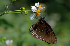 Euploea core - the Common Indian Crow (BugsAlive) Tags: butterfly mariposa papillon farfalla schmetterling бабочка conbướm ผีเสื้อ animal outdoor insects insect lepidoptera macro nature nymphalidae euploeacore commonindiancrow danainae wildlife doisutheppuinp chiangmai liveinsects thailand thailandbutterflies ผีเสื้อจรกาหนอนยี่โถ
