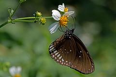 Euploea core - the Common Indian Crow (BugsAlive) Tags: butterfly mariposa papillon farfalla schmetterling  conbm  animal outdoor insects insect lepidoptera macro nature nymphalidae euploeacore commonindiancrow danainae wildlife doisutheppuinp chiangmai liveinsects thailand thailandbutterflies