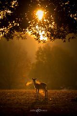 Caught in the Light (Dan Portch) Tags: deer fallow animal wildlife morning sunrise autumn golden light sunlight silhouette knole knolepark sevenoaks sevenoaksknolepark kent uk