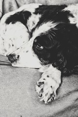 Brandy (SteveH1972) Tags: dog dogs black white blackandwhite monochrome spaniel englishspringerspaniel spaniels furniture pet animal cute tired bartonuponhumber northenengland northlincolnshire europe canon700d canon 700d 1855mm