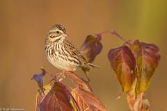 BJ8A6291-Savannah Sparrow (tfells) Tags: savannahsparrow bird nature passerine songbird nj newjersey mercer princeton