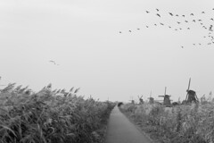 If every bird would be one kiss ... (Anja Horvat) Tags: kinderdijk netherlands dutch windmill wind birds bird geese grass path bw black white sky grey culture history flying walk sightseeing nikon erasmus exchange