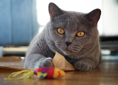 Conner Playing (michaelbeyer_hh) Tags: cat bkh britishshorthair