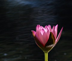 Dancing in the Moonlight (Slow Turning) Tags: lotus flower blossom water light bokeh blackbackground depthoffield summer southernontario