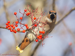 Waxwings (53 of 202) (ianrobertcole1971) Tags: waxwing bird berries winter invasion