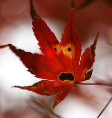 Faaaaaaaallll !! :) (Robyn Hooz) Tags: viso volto face fake foglia leaves leaf maple acero fall autunno red smile sorriso