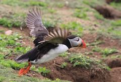 Puffin - Skomer Island WT Wales -150516 (72) (ailognom2005-Catching up slowly.) Tags: skomerisland pembrokeshire wales puffin birds britishbirds britishwildlife wildlifetrust