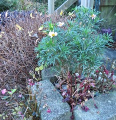 6270 Osteospermum getting a second showing (Andy - Busyyyyyyyyy) Tags: 20161128 daisy fff flower michaelmasdaisy mmm sss symphyotrichum