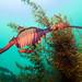 Surveys this weekend - Weedy seadragon - Phyllopteryx taeniolatus #marineexplorer