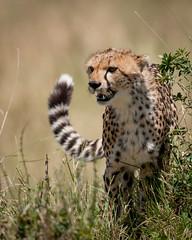 Mara Cheetah (MWVVerb) Tags: 2015 august kenya mara masai triangle