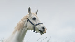 ####No.1 (Michael A64) Tags: pferd tier horse animal weiss white
