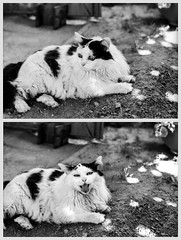 """I iz lion! U be scared!"" (Nobusuma) Tags: homemadesoup cat gatto diptych bw pentaxmx pentax smc 50mm f17 film analog caffenol selfdeveloped olivia smcpentax ilford delta 100iso ilforddelta home garden monochrome blackandwhite"