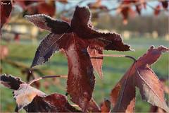 Feuilles d'automne givrées - Frosted autumn leaves (baladeson) Tags: givre ice feuilles nature extérieur texture feuillage plante automne autumn profondeurdechamp