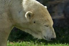 Eisbr (Michael Dring) Tags: gelsenkirchen bismarck zoomerlebniswelt zoo eisbr polarbear sp150600 d7200 michaeldring