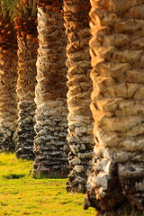 Barks - Date palm (۞Thalib۞) Tags: datepalm barks canon7dmii canon70200f28lii textures patterns dammam