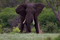 Mud-caked (leendert3) Tags: africanelephant sunrays5 ngc coth5 npc