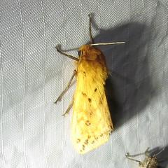 8129 Pyrrharctia isabella (Isabella Tiger Moth) (Rob Gilson) Tags: isabella isabellatigermoth mothnight 8129 pyrrharctiaisabella pyrrharctia wbnp nationalmothweek 2016 nc mecklenburg moth