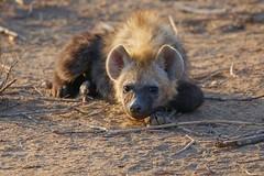 cute Hyena Cub at dawn (cirdantravels (Fons Buts)) Tags: hyena crocuta hyène hyäne carnivore predator kruger h it ngc npc