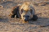 cute Hyena Cub at dawn (cirdantravels (Fons Buts)) Tags: hyena crocuta hyène hyäne carnivore predator kruger h it