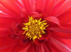 curled up in red (saudades1000) Tags: dahlia flower macro scarlet rouge petals rojo flor vermelho fiori redflower reddahlia florvermelha