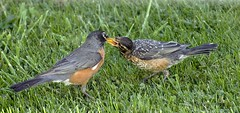 Not the usual fare... (Carolyn Lehrke) Tags: usa nature grass birds feeding wildlife lawn wv worms americanrobin avian fledgling greenbriercounty