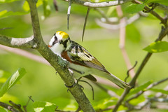 _53F2201 Chestnut-sided Warbler on Hawthorne (~ Michaela Sagatova ~) Tags: dundas chestnutsidedwarbler dendroicapensylvanica woodwarbler birdphotography dvca michaelasagatova spring2014