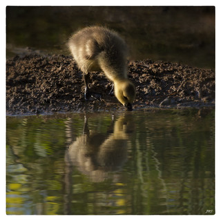 Gosling Drinking with Reflection ©