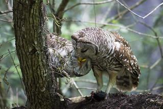 Barred Owls sharing a fish