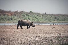 Rhino in Chitwan National Park, Nepal (terbeck) Tags: travel nepal nature river reisen asia asien rhino sauraha rhinocerus nashorn chitwannationalpark nikond90 terbeck