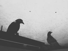 Besuch (_assbach) Tags: bw birds dirtywindow krähen onmyrooftop