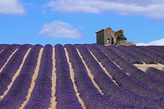 Champs de lavande (Fabien555) Tags: park travel france flower industry tourism nature field horizontal farmhouse de landscape outdoors europe pattern purple farm hill rustic champs magenta lavender tourist bleu ruine ciel crop agriculture nuage tamron lavande idyllic vacations drome scenics harvesting inarow traveldestinations valensole provencealpescotedazur ruralscene beautyinnature nationallandmark exoticism nonurbanscene europeanalps frenchculture plateaudevalensole lavendercoloured lavendin
