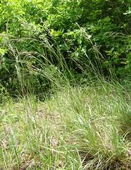 Brome dress (L'herbier en photos) Tags: grass belgique meadow leffe upright poaceae devant dinant namur wallonie erectus bromus gramines brome huds condroz bouvignes dress poaces devantbouvignes