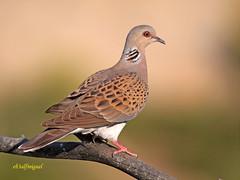 Tórtola europea o común (Streptopelia turtur) (eb3alfmiguel) Tags: aves granívoros europea tortola pájaro