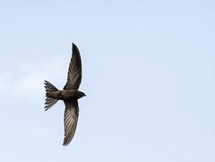 (Adisla) Tags: olympus ave f2 palido em1 volar 150mm vencejo zd150mm