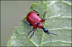 Apoderus coryli (alfvet) Tags: macro nikon ngc npc 48 insetti valsesia coleotteri sigma150 veterinarifotografi d5100 macroelitecontestwinner