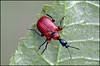 Apoderus coryli (alfvet) Tags: macro nikon ngc npc 48 insetti valsesia coleotteri sigma150 veterinarifotografi d5100 ♥macroelitecontestwinner♥