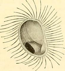 Anglų lietuvių žodynas. Žodis genus hudsonia reiškia genties hudsonia lietuviškai.