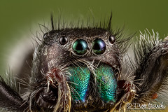 The Daring Jumping Spider - Phidippus audax (Karlgoro1) Tags: macro eye closeup canon bug insect eos spider photo jumping eyes focus stack 7d f28 audax daring the mpe 65mm phidippus macrolife