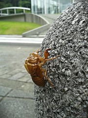 The empty shell of an evening cicada (tripu) Tags: street summer building japan closeup cicada campus insect dead university shell august kanagawa shonan fujisawa keio 2014 keiouniversity