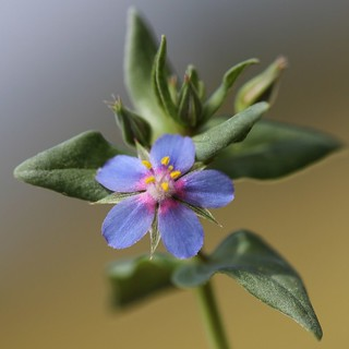 Mouron bleu (Lysimachia foemina)