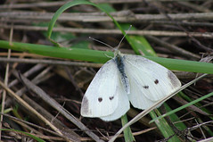 Liblikas (Jaan Keinaste) Tags: fauna butterfly estonia pentax eesti k7 liblikas elusloodus pentaxk7